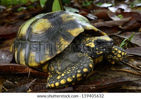 Yellow-footed tortoise (Chelonoidis denticulata) - stock photo