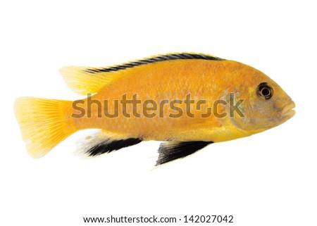 Yellow form of Melanochromis johannii - stock photo