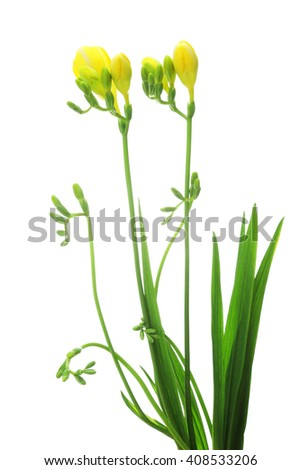 Yellow freesia isolated on white background    - stock photo