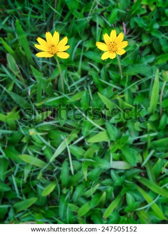 yellow fresh flower on spring green grass   - stock photo