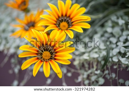 Yellow Gazania flowers native to South Africa, but found widely in Australia - stock photo