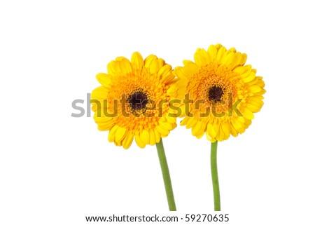 yellow gerber - stock photo