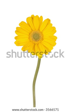 yellow gerber daisy with long green stem isolated over white