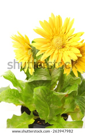 Yellow Gerber isolated on white - stock photo