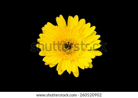 Yellow Gerbera bloom Flowers isolated on black background. - stock photo