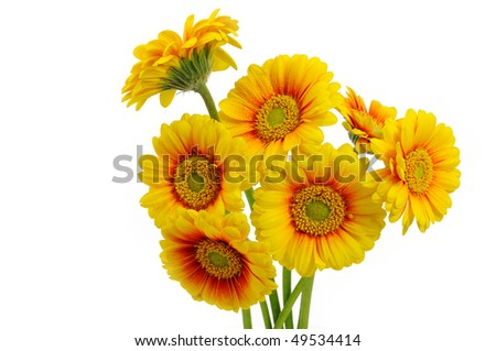 Yellow gerbera daisies - stock photo
