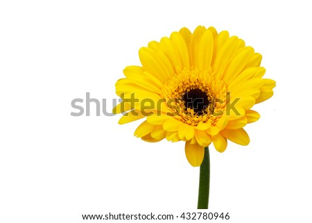 Yellow Gerbera daisy against a white bckground - stock photo