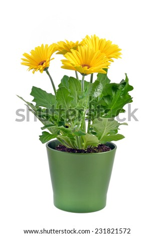 Yellow gerbera flower in green pot on white background - stock photo