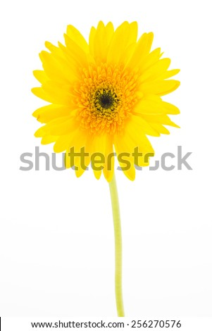 Yellow gerbera flower isolated on white background