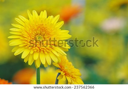 yellow Gerbera flower on the natural  green background - stock photo