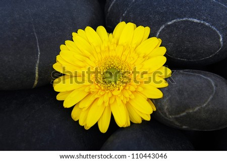 Yellow gerbera flower on wet pebbles background