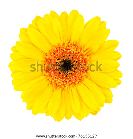 Yellow Gerbera Flower with Orange and Black Center  Isolated on White Background