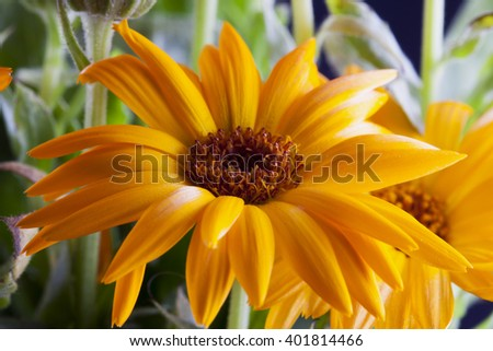 Yellow gerbera in a bunch, horizontal image - stock photo