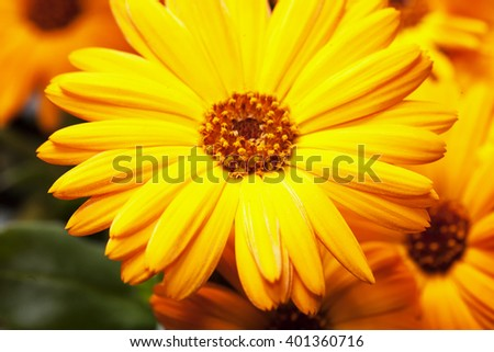 Yellow gerbera in close up, horizontal image - stock photo
