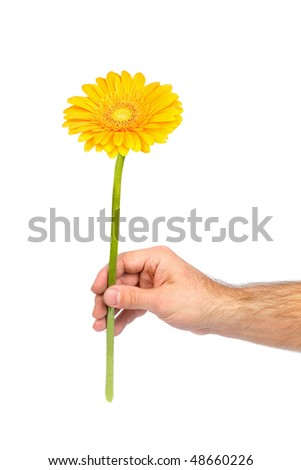 Yellow gerbera in male hand isolated on white
