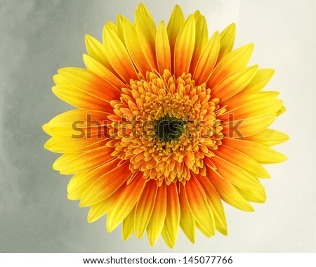 Yellow Gerbera macro on white background
