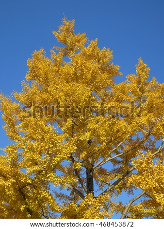 yellow Ginkgo tree with blue sky