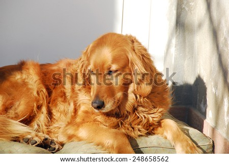 yellow golden retriever dog laying outdoors on sunlight - stock photo