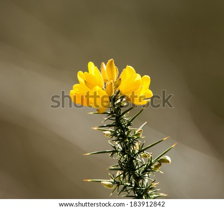 Yellow Gorse flowers with spiky foliage, in sunlight. - stock photo