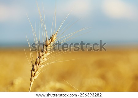 Yellow grain ready for harvest. Closeup view - stock photo
