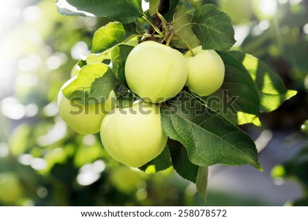 Yellow green apples on an appletree branch. - stock photo