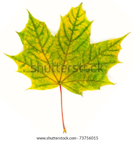 Yellow-green autumn leaf isolated on white background