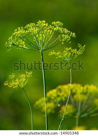 yellow-green dill closeup with blurred green background - stock photo