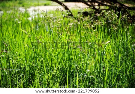 yellow green flower of Thai sedge, papyrus, natural fiber growing in natural wetland can be proceeded for use as raw materials for many sorts of traditional hand craft work in Thailand and asia.  - stock photo