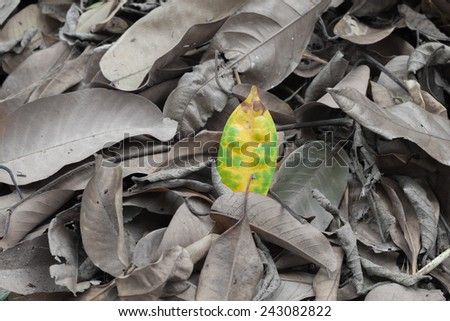 yellow green leaf on dry grey leaf background