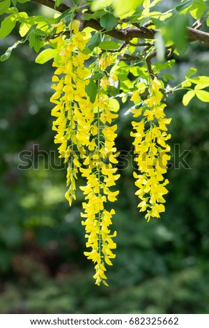 Yellow hanging flowers stock photo 100 legal protection 682325662 yellow hanging flowers mightylinksfo