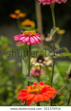Yellow hearted gerbera flowers with pink petals from close growing in a Dutch cut flower nursery. - stock photo