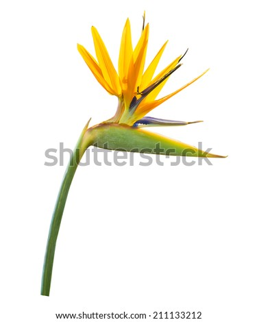 yellow heloconia flower isolated on white - stock photo