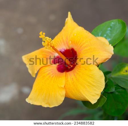Yellow hibiscus flower - stock photo