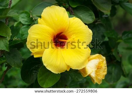 Yellow Hibiscus flower in garden. - stock photo