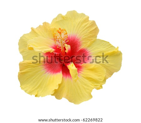 Yellow hibiscus flower isolated on white background - stock photo