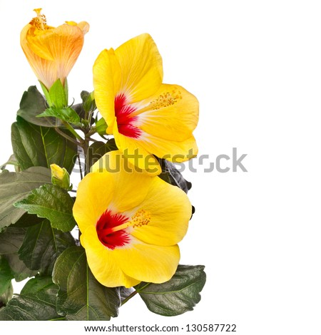 Yellow hibiscus flower isolated on white background. Clipping path included. - stock photo