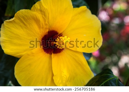 Yellow hibiscus on Natural background