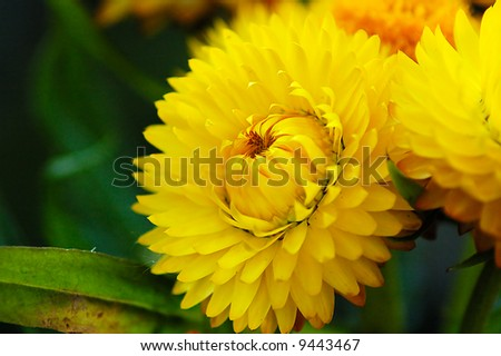 yellow immortelle close-up in dark background - stock photo