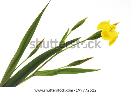 Yellow Iris (Iris pseudacorus), close-up