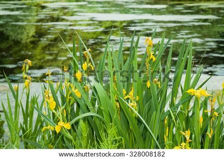 Yellow Irises on a frog pond - stock photo