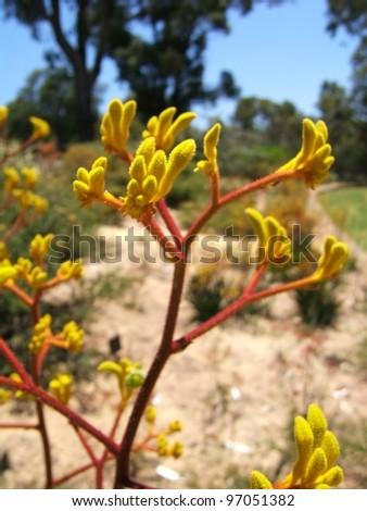 Yellow Kangaroo Paw (Anigozanthos pulcherrimus) - stock photo