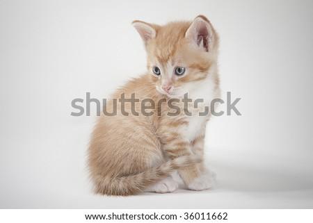 yellow kitten - stock photo