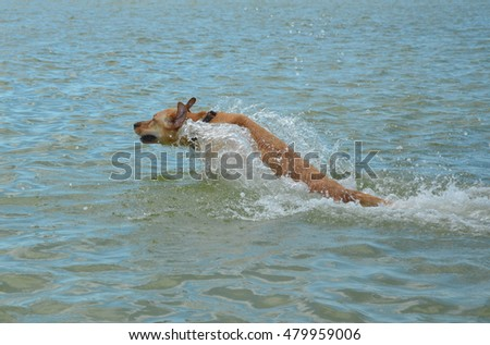 Yellow Lab Leaping