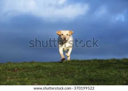 yellow lab running in field - stock photo