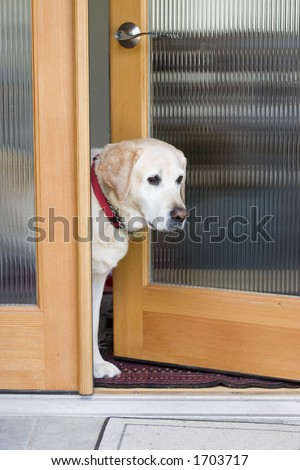 yellow labrador dog waiting at the door - stock photo
