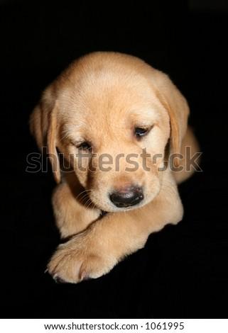 Yellow labrador puppy - stock photo
