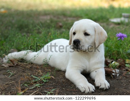 yellow labrador puppy laying in the garden on grass