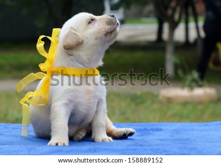 yellow labrador puppy on the blue background - stock photo