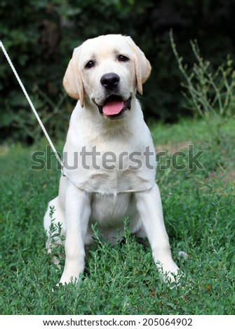 yellow labrador puppy sitting close up in the grass