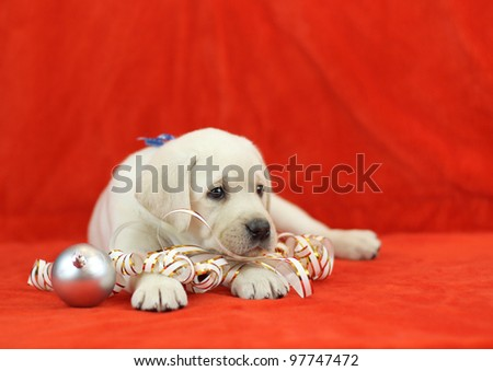 yellow labrador puppy with New Year (Christmas) toys on red background - stock photo